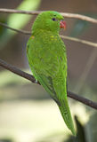 Green parrot from behind Royalty Free Stock Photo
