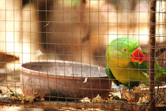 Green parrot. Behind wire fence cage Royalty Free Stock Images