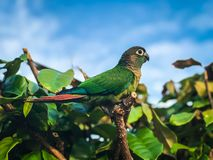 Green Parrot on the big tree royalty free stock photo