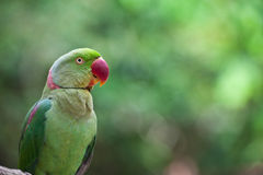 Green Parrot Bird Stock Images