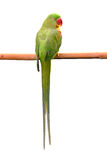 Green parrot bird Royalty Free Stock Photo