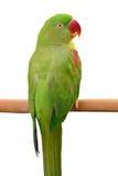 Green parrot bird. Closeup Female Alexandrine Parakeet, green parrot bird isolated on white backgroud Stock Photo