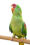 Green parrot bird Stock Image