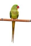 Green parrot bird. Closeup Female Alexandrine Parakeet, green parrot bird isolated on white backgroud Royalty Free Stock Photo