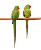Green parrot bird Royalty Free Stock Image