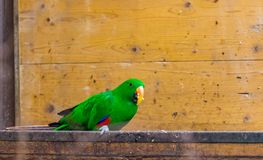 The green parrot bird latin name Eclectus roratus polychloros on the wood desk. Colorful bird living in Australia or Papua New. The green parrot bird latin name royalty free stock photo