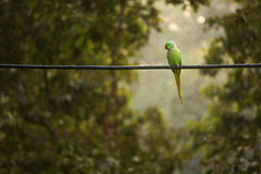 Green parrot bird on wood branch. Royalty Free Stock Images