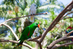 Green parrot bird on wood branch. Greenery Royalty Free Stock Image