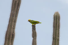 Green parrot, Bonaire Royalty Free Stock Photography