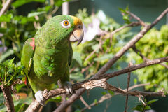 Green parrot on a Branch. Green parrot (Amazona auropalliata), standing on a tree branch Royalty Free Stock Images
