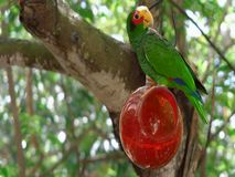 A green parrot on a branch stock images