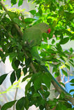 Green parrot on the branch of green tree Royalty Free Stock Photo