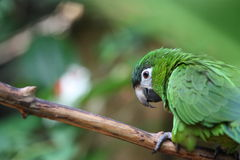 Green parrot from Brazil Royalty Free Stock Photo