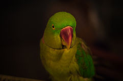 Green Parrot and face bird brown wallpaper and backgrounds Royalty Free Stock Photos