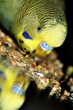 Green parrot budgerigar. Eating grain Royalty Free Stock Image