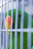 Green parrot in a cage Royalty Free Stock Photography