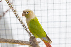 Green parrot in cage Stock Photography