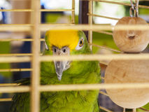 Green parrot in a cage Stock Image
