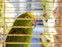 Green parrot in a cage Stock Photo