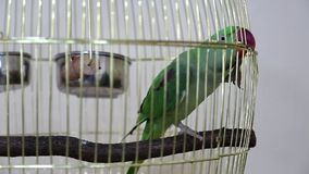 Green parrot in cage stock video