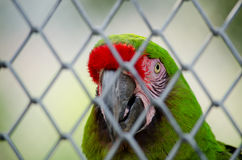 Green parrot. Is in the cage and not happy Stock Photos