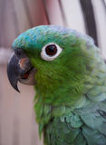 Green parrot in cage Royalty Free Stock Photos
