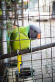 Green parrot in the cage Royalty Free Stock Image