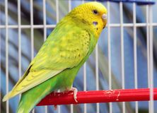 Green parrot in a cage Royalty Free Stock Images