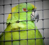 Green parrot in cage Stock Image