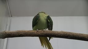 Green parrot caring its tail feathers stock video footage