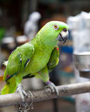 Green Parrot Chained on Perch Royalty Free Stock Images