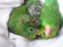 Green parrot chicks royalty free stock images