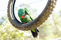 Green parrot cleaning is feet Stock Photos