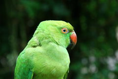 Green parrot. Closeup view of green parrot in green background Stock Photography