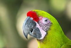 Green parrot closeup Royalty Free Stock Photo