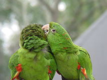 Green Parrot Couple 3. Green Parrot couple kissing Royalty Free Stock Images