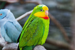 Green parrot. Cute green yellow parrot bird Royalty Free Stock Images