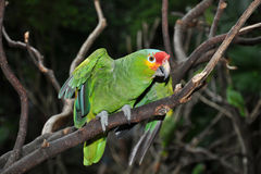 Green parrot. On a dark background Stock Images