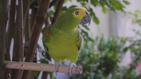 Green parrot. Domestic parrot in the garden stock video