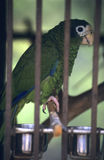 Green parrot  in Dominican republic Stock Photo