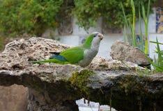 Green parrot drinking Stock Photos