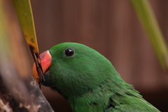 Green Parrot. A green parrot eat some leaf Stock Image