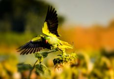 Green Parrot eat sunflowers stock photo