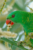 Green parrot eating. Profile of a green parrot eating Stock Photography