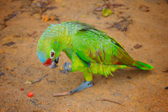 Green parrot eating corn. Green parrot eating corn and standing on one foot. Sandy ground Royalty Free Stock Photos