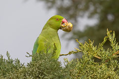 Green Parrot Eating a Cypress Cone Royalty Free Stock Photo