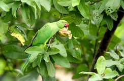 A green parrot eating guava. Parrots are beautiful bird with strong curved bill, an upright stance, strong legs, and clawed feets Stock Images