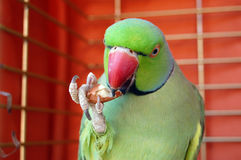 Green parrot eating peanut Stock Images