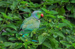 Green Parrot feeding Royalty Free Stock Image