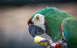 Green Parrot. Eats corn snack Royalty Free Stock Photography